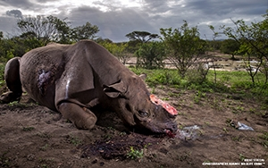 Brent Stirton ©PHOTOGRAPHERS AGAINST WILDLIFE CRIME (TM)